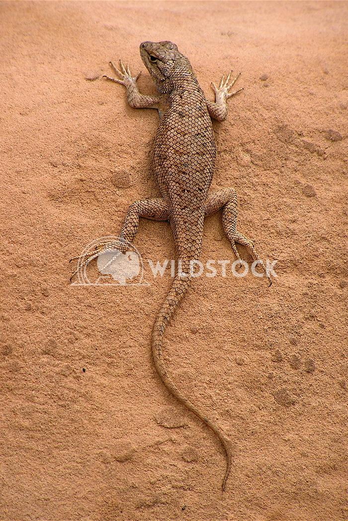 lizard John Anglim