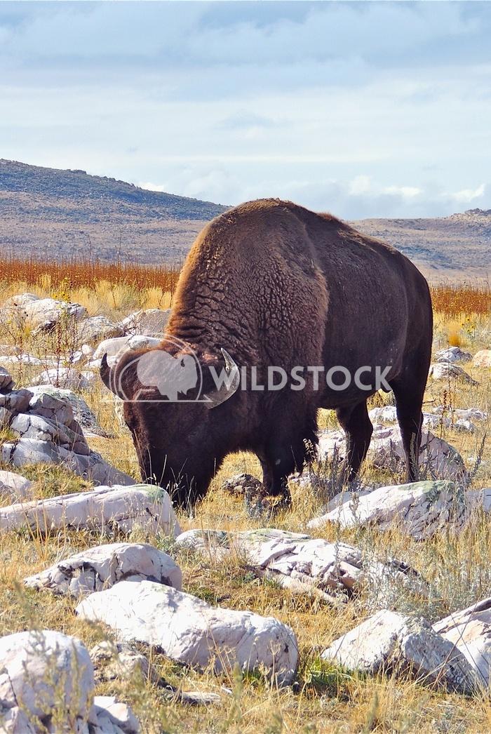 bison antelope island 1 John Anglim
