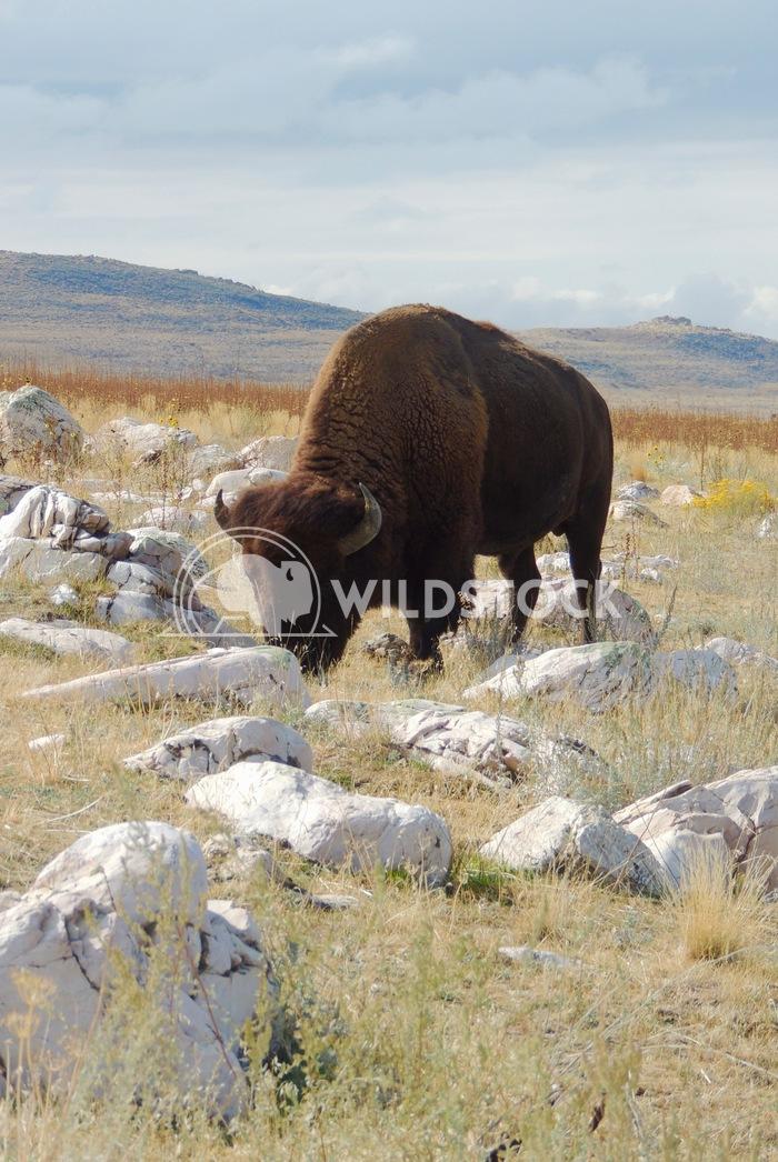bison antelope island 3 John Anglim