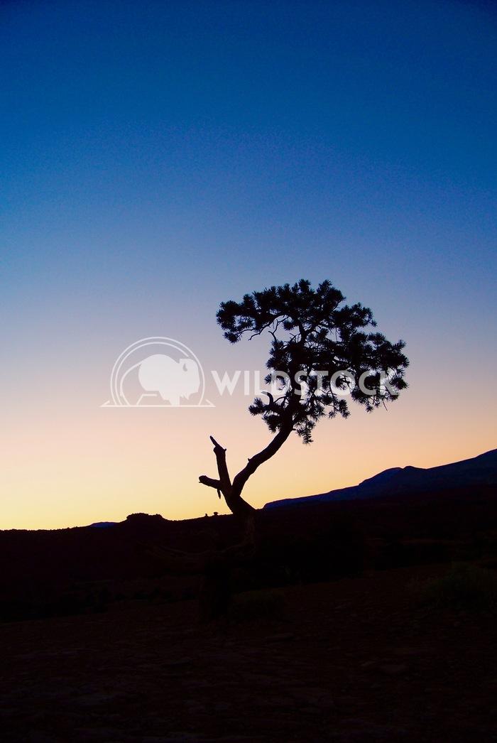 lone tree John Anglim