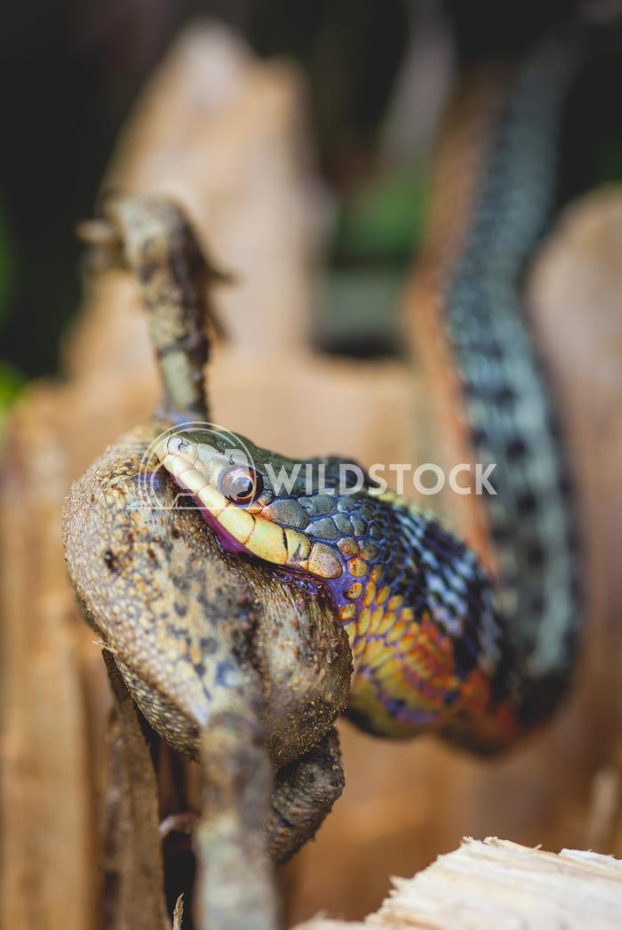 Snake eating frog Jason Eke