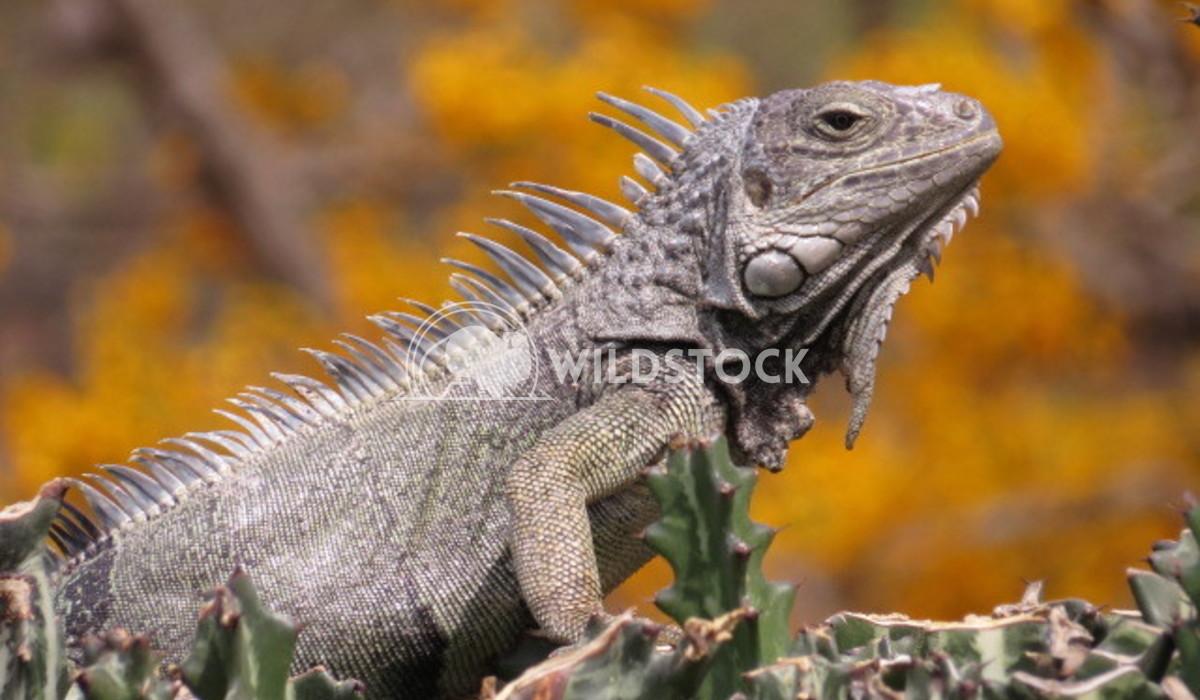 Golden Iguana Louise Chapman