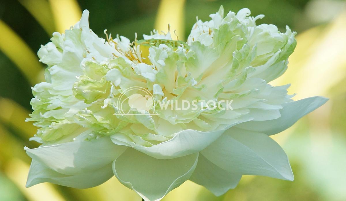 Lotus, flowers of Bali, Indonesia 5 Alexander Ludwig Lotus, flowers of Bali, Indonesia