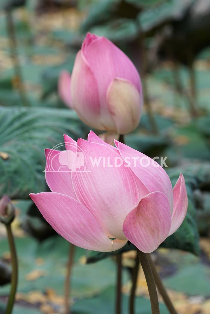 Lotus, flowers of Bali, Indonesia 4 Alexander Ludwig Lotus, flowers of Bali, Indonesia