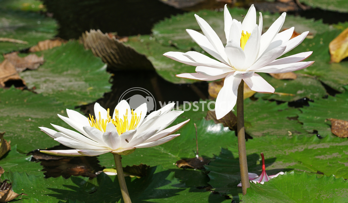 Water lily, flowers of Bali 3 Alexander Ludwig Water lily, flowers of Bali, Indonesia