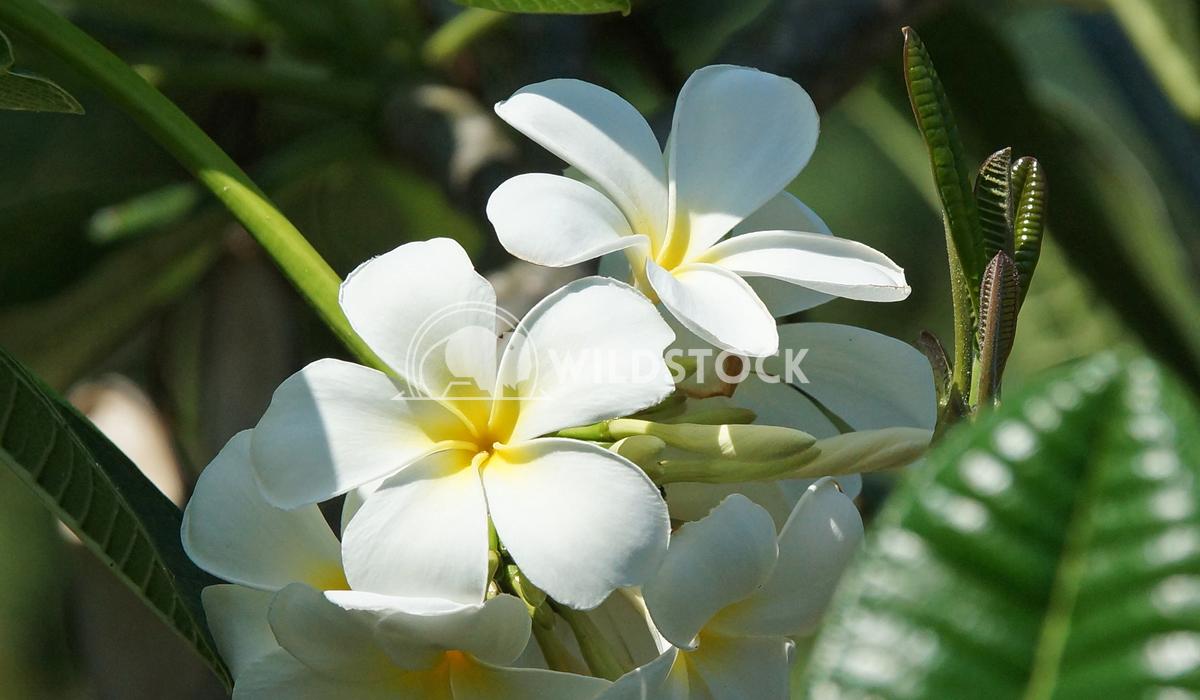Frangipani, Bali, Indonesia 2 Alexander Ludwig Frangipani, flowers of Bali, Indonesia, Asia