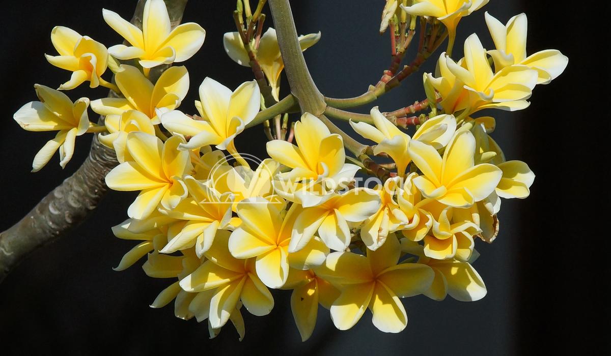 Frangipani, Bali, Indonesia 1 Alexander Ludwig Frangipani, flowers of Bali, Indonesia, Asia