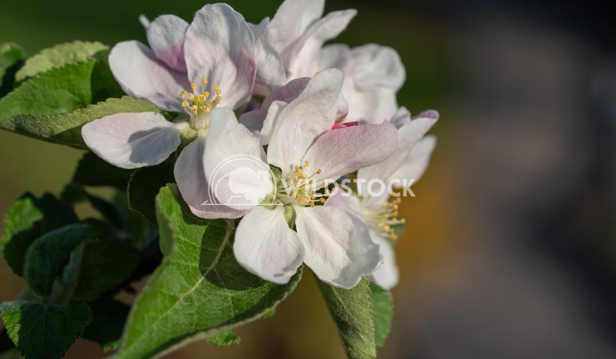 Common pear, Pyrus domestica 1 Alexander Ludwig Common pear (Pyrus domestica), blossoms of springtime