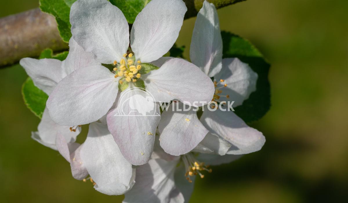 Common pear, Pyrus domestica 3 Alexander Ludwig Common pear (Pyrus domestica), blossoms of springtime