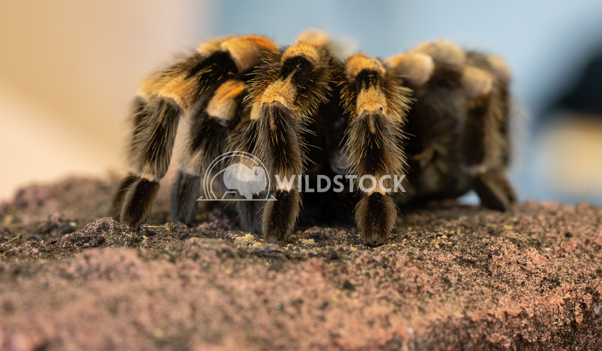 Mexican redknee tarantula, Brachypelma smithi 3 Alexander Ludwig Close up of a Mexican redknee tarantula (Brachypelma sm