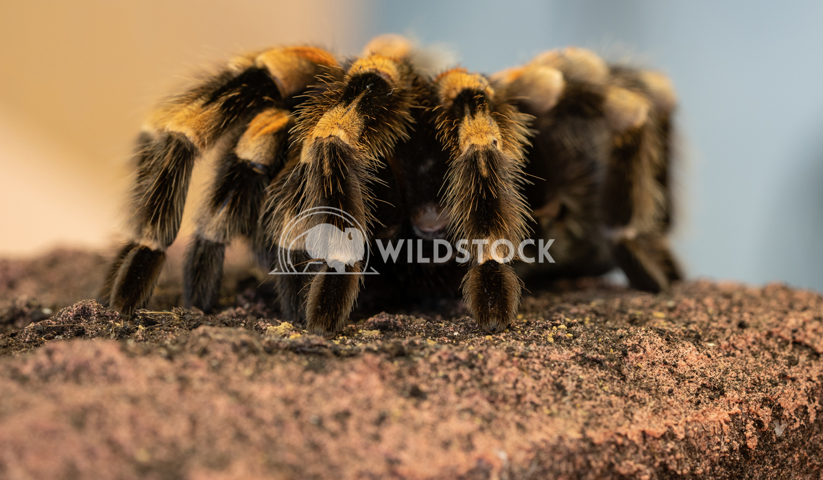 Mexican redknee tarantula, Brachypelma smithi 2 Alexander Ludwig Close up of a Mexican redknee tarantula (Brachypelma sm