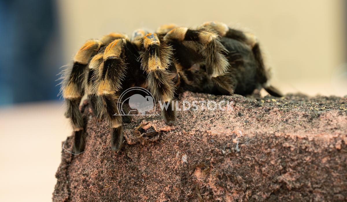 Mexican redknee tarantula, Brachypelma smithi 1 Alexander Ludwig Close up of a Mexican redknee tarantula (Brachypelma sm