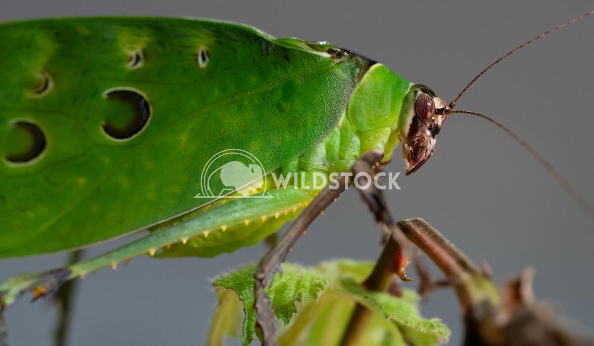 Malaysian leaf locust, Ancylecha fenestrata Alexander Ludwig Malaysian leaf locust (Ancylecha fenestrata)