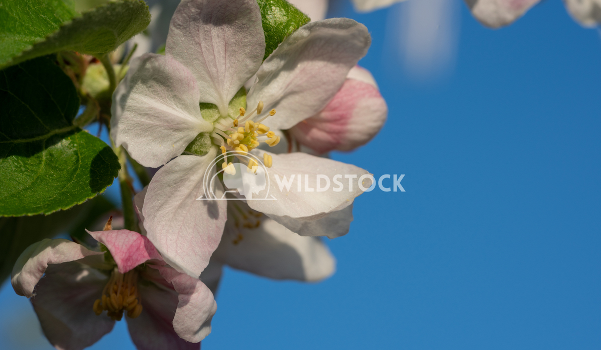 Apple tree, Malus domestica 1 Alexander Ludwig Apple tree (Malus domestica), blossoms of springtime