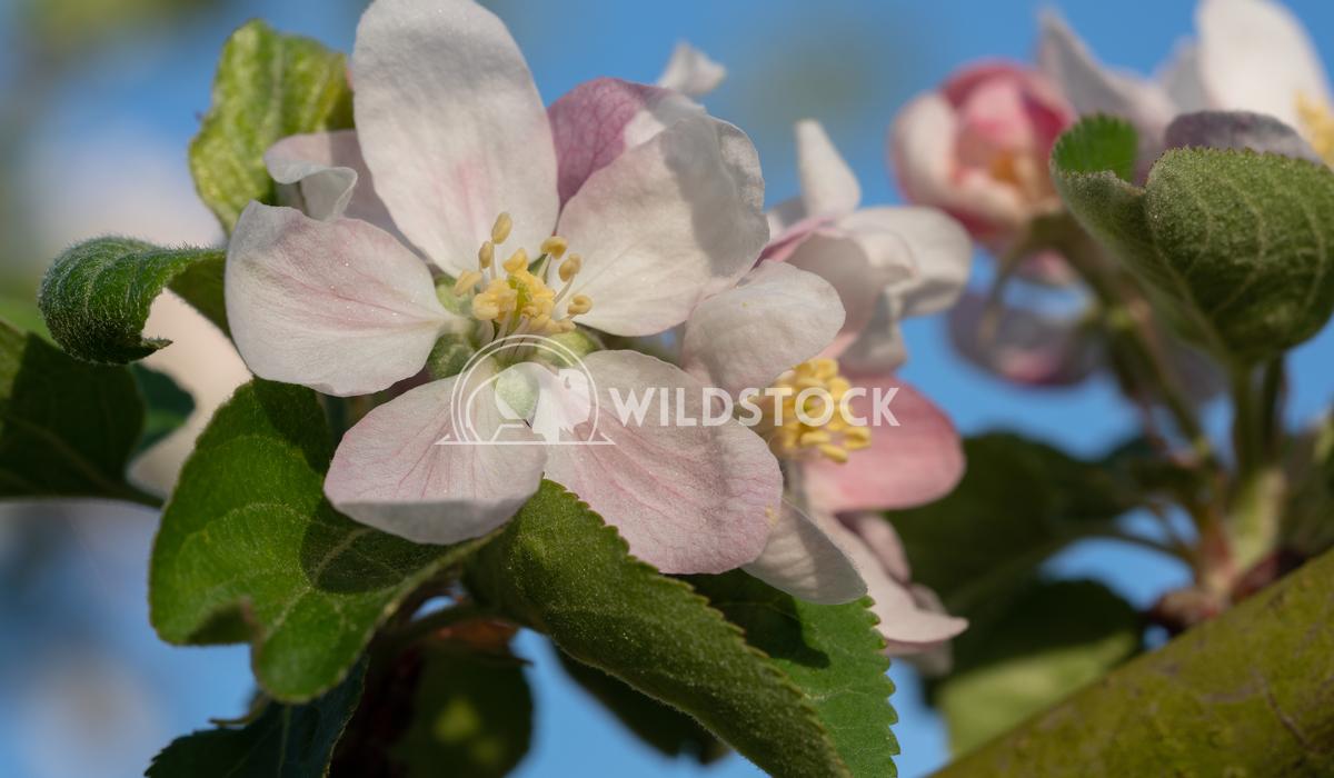 Apple tree, Malus domestica 2 Alexander Ludwig Apple tree (Malus domestica), blossoms of springtime