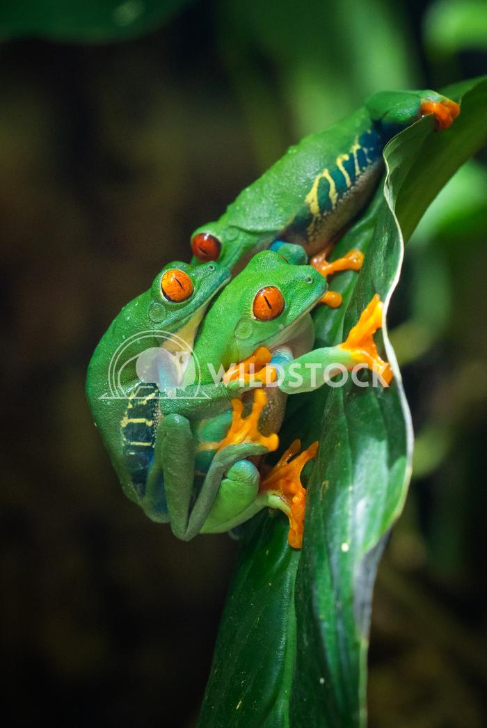 Red-eyed Tree Frog, Agalychnis callidryas 1 Alexander Ludwig Red-eyed Tree Frog (Agalychnis callidryas)