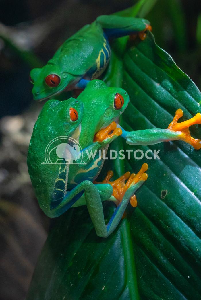 Red-eyed Tree Frog, Agalychnis callidryas 2 Alexander Ludwig Red-eyed Tree Frog (Agalychnis callidryas)