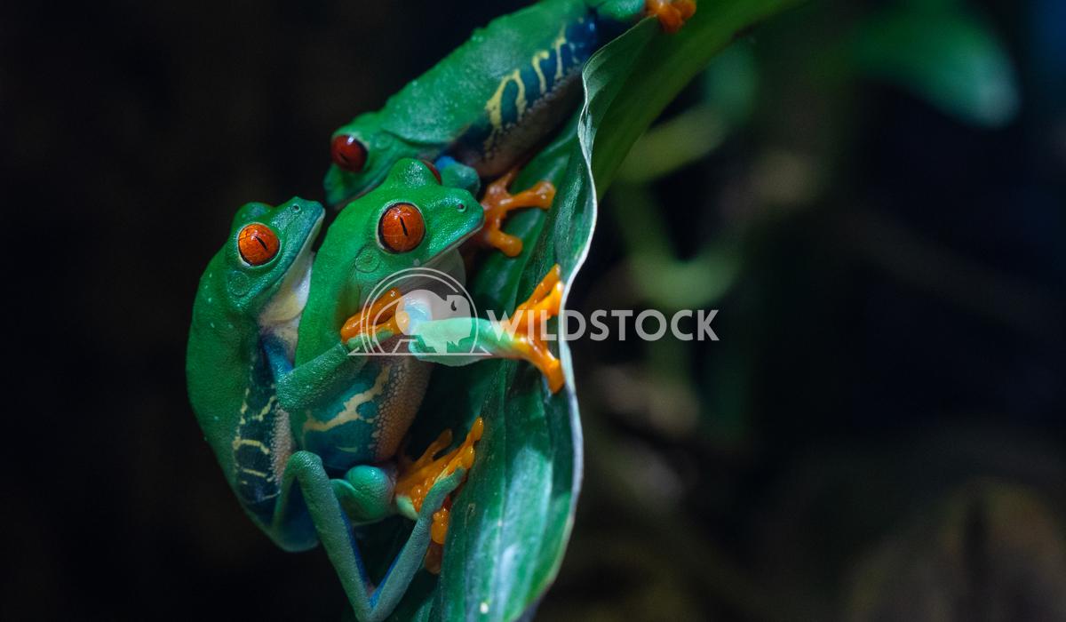 Red-eyed Tree Frog, Agalychnis callidryas 3 Alexander Ludwig Red-eyed Tree Frog (Agalychnis callidryas)