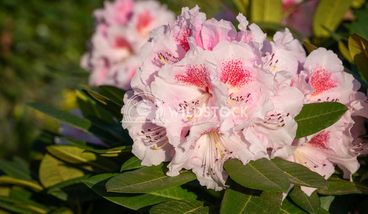 Rhododendron Hybrid Kromlauer Parkperle, Rhododendron hybrid 2 Alexander Ludwig Rhododendron Hybrid Kromlauer Parkperle