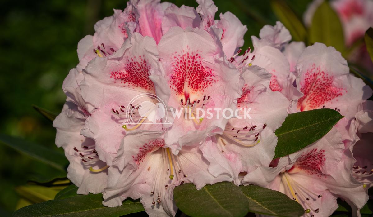 Rhododendron Hybrid Kromlauer Parkperle, Rhododendron hybrid 3 Alexander Ludwig Rhododendron Hybrid Kromlauer Parkperle