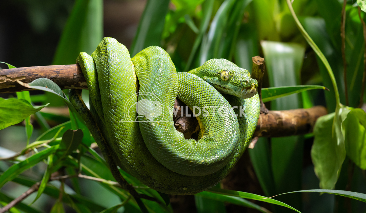 Green Tree Python, Morelia viridis 2 Alexander Ludwig Green Tree Python (Morelia viridis)