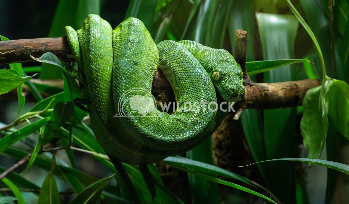 Green Tree Python, Morelia viridis 3 Alexander Ludwig Green Tree Python (Morelia viridis)