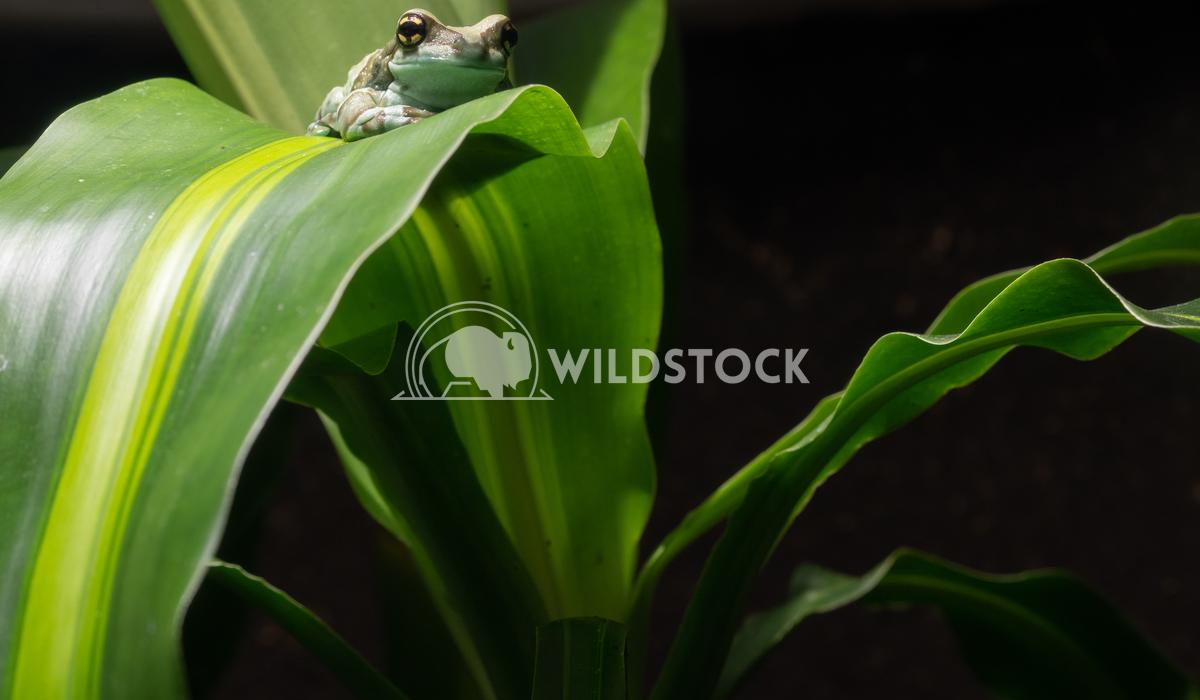 Amazon Milk Frog, Trachycephalus resinifictrix 3 Alexander Ludwig Amazon Milk Frog (Trachycephalus resinifictrix)