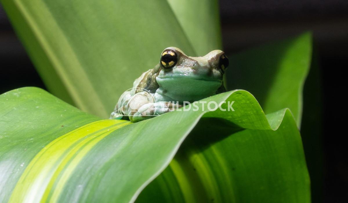 Amazon Milk Frog, Trachycephalus resinifictrix 2 Alexander Ludwig Amazon Milk Frog (Trachycephalus resinifictrix)