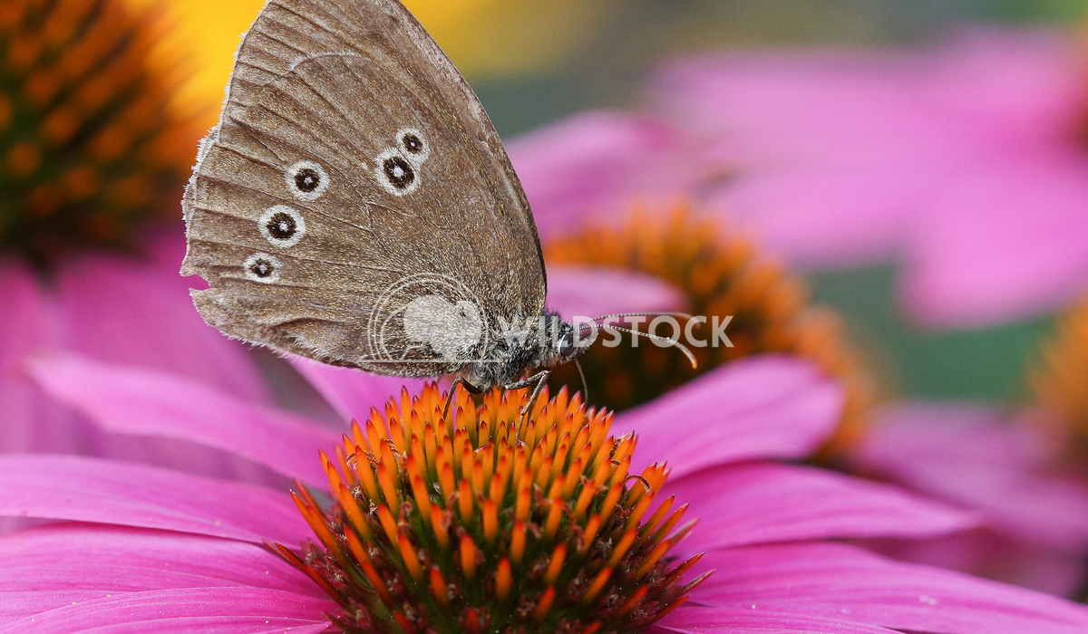 Ringlet, Aphantopus hyperantus Alexander Ludwig Ringlet (Aphantopus hyperantus) on Echinacea purpurea