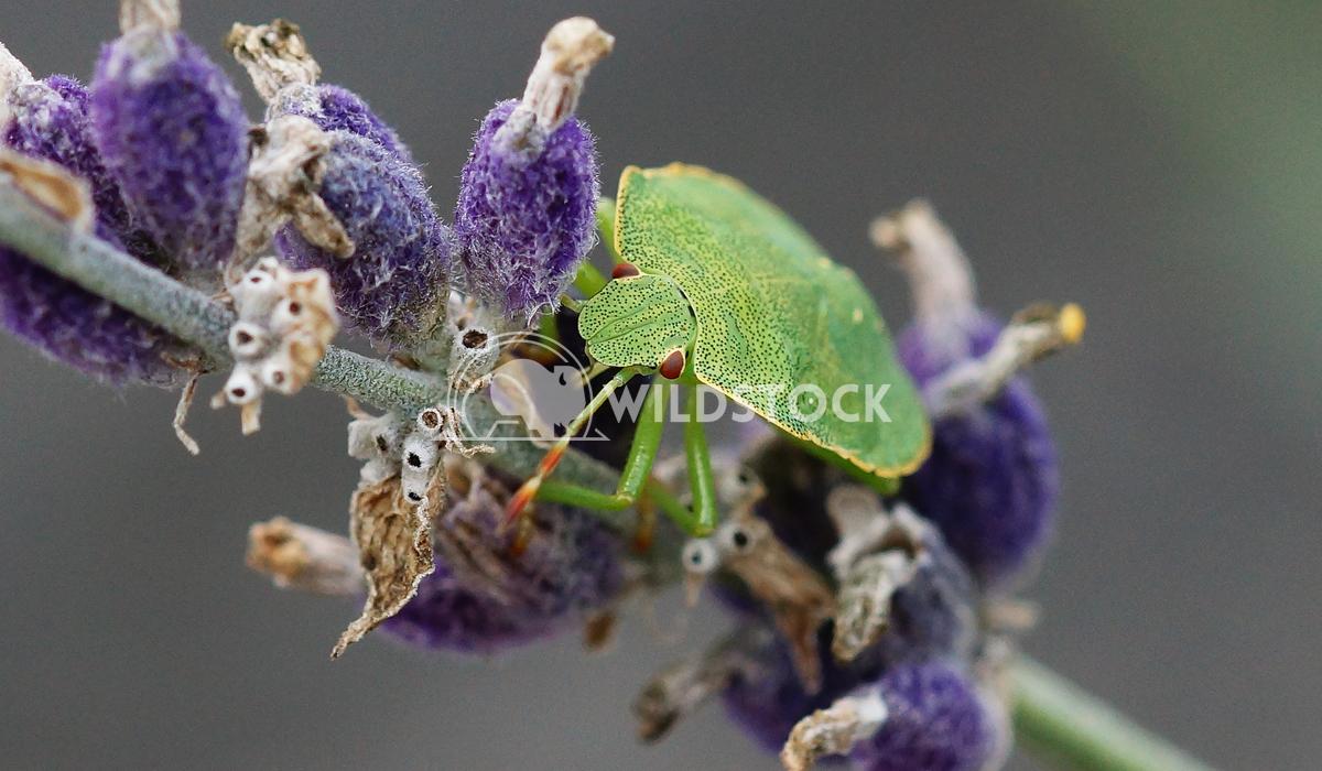 Green Stink Bug, Palomena prasina 2 Alexander Ludwig Green Stink Bug (Palomena prasina) on lavender