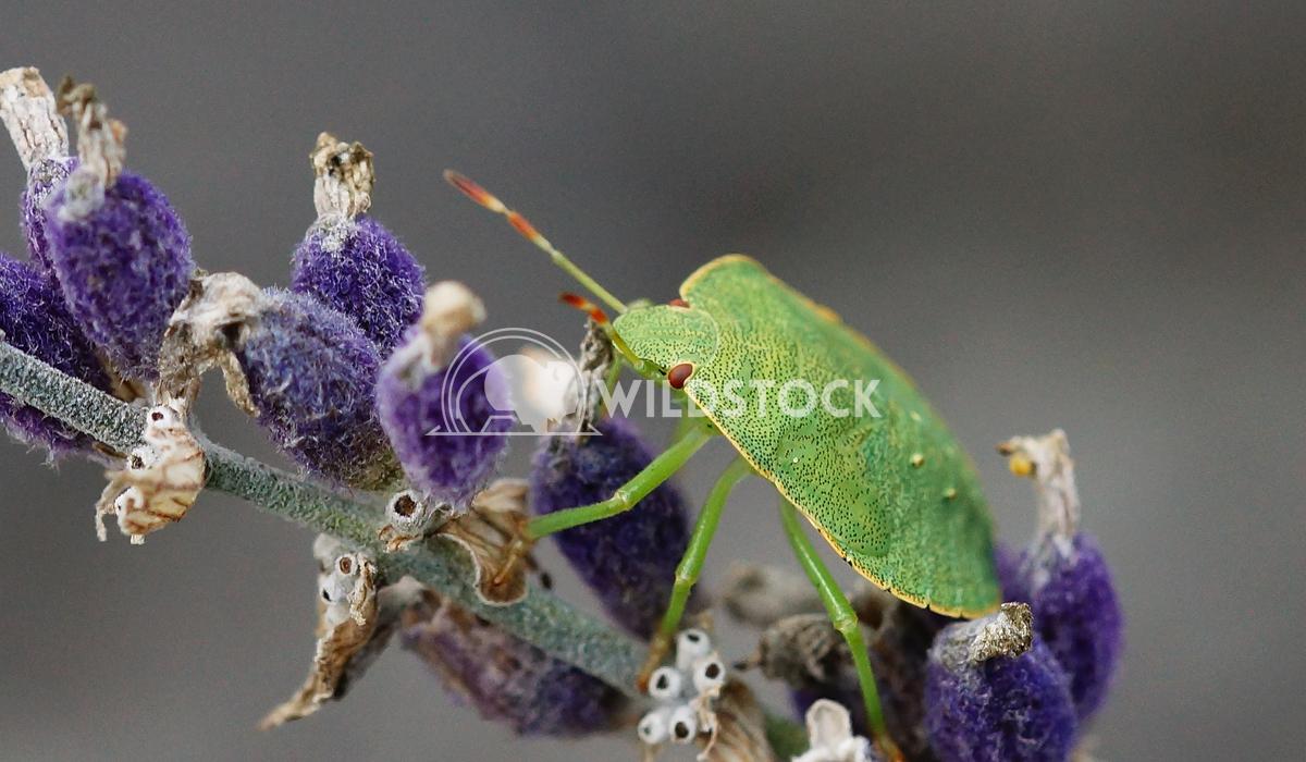 Green Stink Bug, Palomena prasina 1 Alexander Ludwig Green Stink Bug (Palomena prasina) on lavender