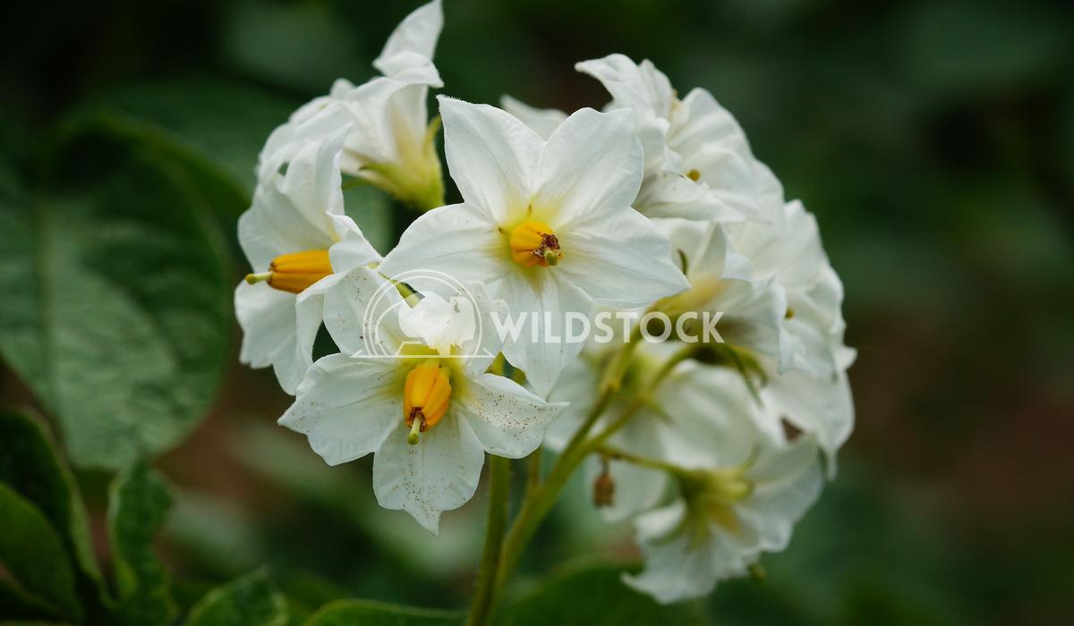 Potato_Solanum tuberosum Alexander Ludwig Blossom of potato plant, Solanum tuberosum