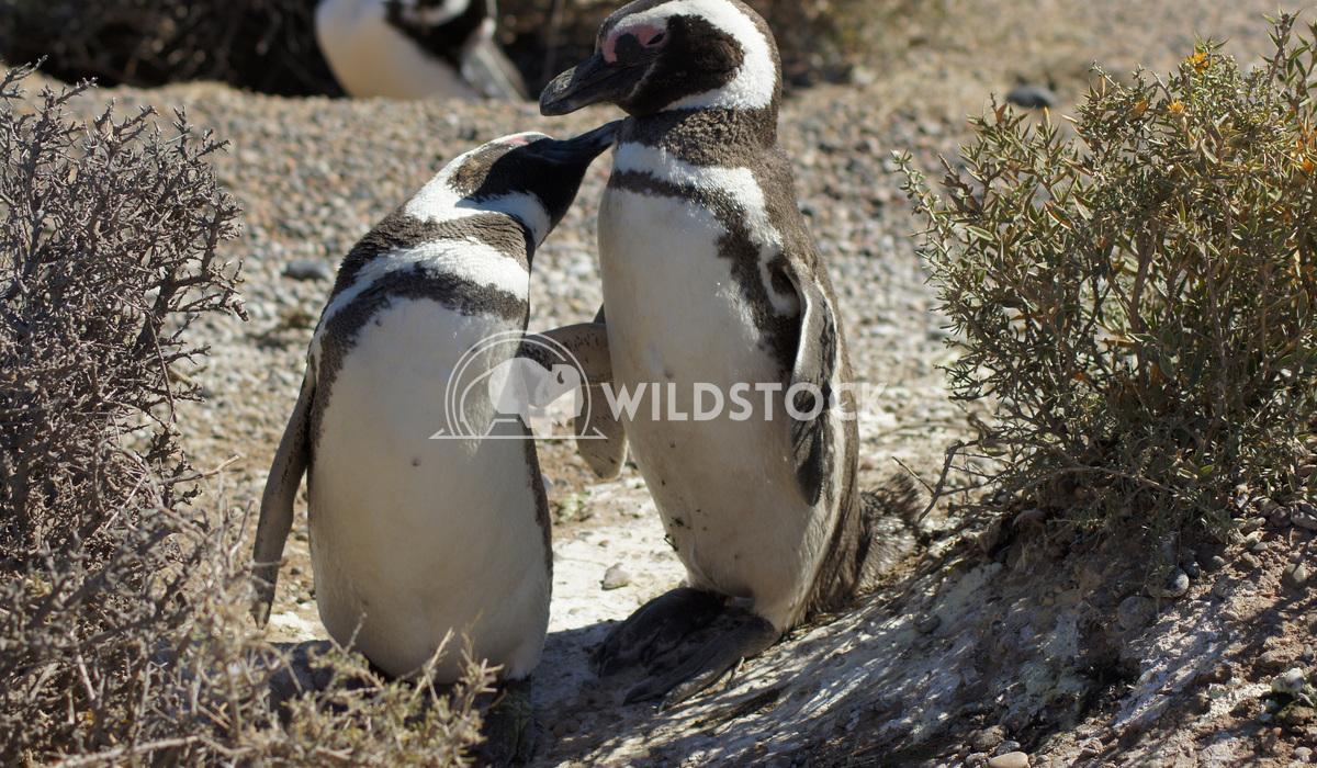 Magellanic Penguin, Argentina 5 Alexander Ludwig Colony of Magellanic Penguins, Punta Tombo, Argentina, South America