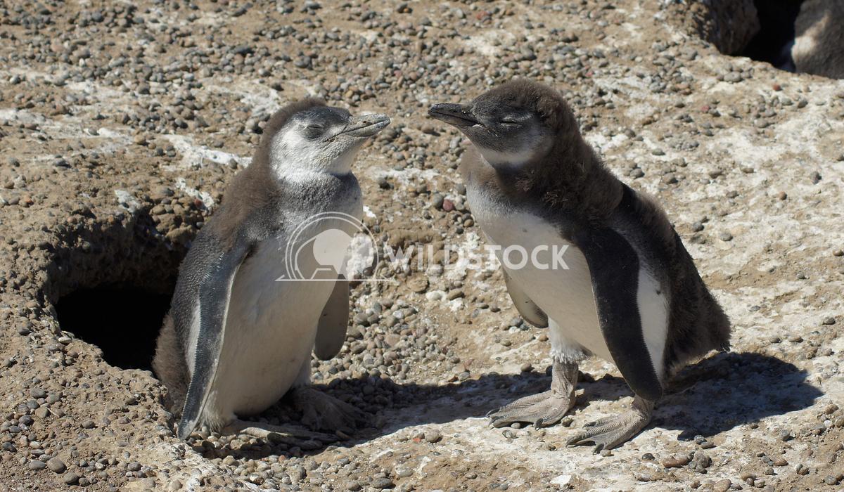 Magellanic Penguin, Argentina 10 Alexander Ludwig Colony of Magellanic Penguins, Punta Tombo, Argentina, South America