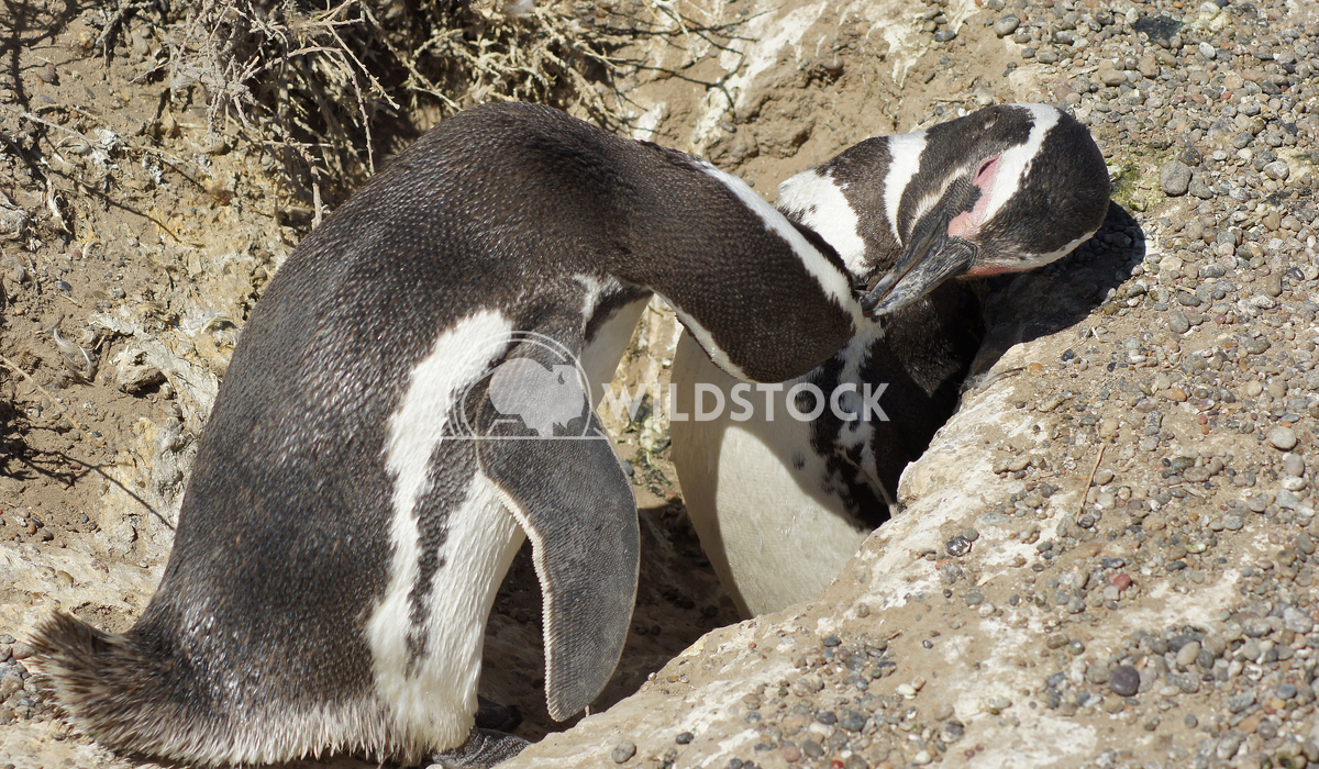 Magellanic Penguin, Argentina 15 Alexander Ludwig Colony of Magellanic Penguins, Punta Tombo, Argentina, South America