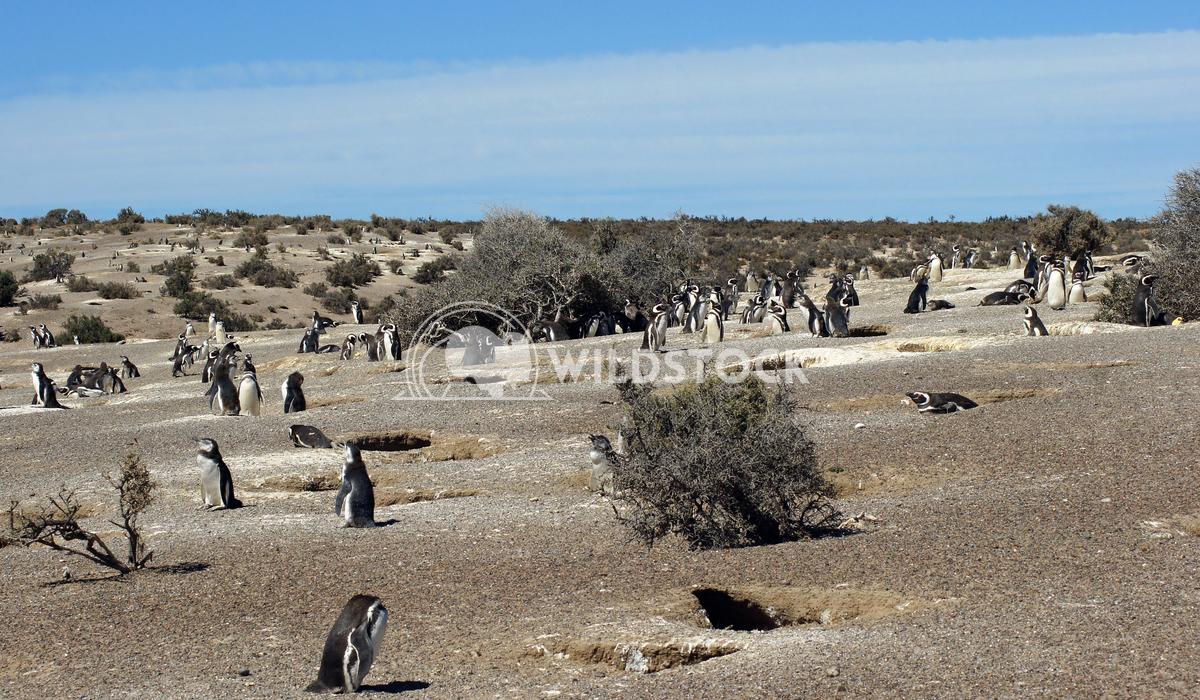 Magellanic Penguin, Argentina 16 Alexander Ludwig Colony of Magellanic Penguins, Punta Tombo, Argentina, South America