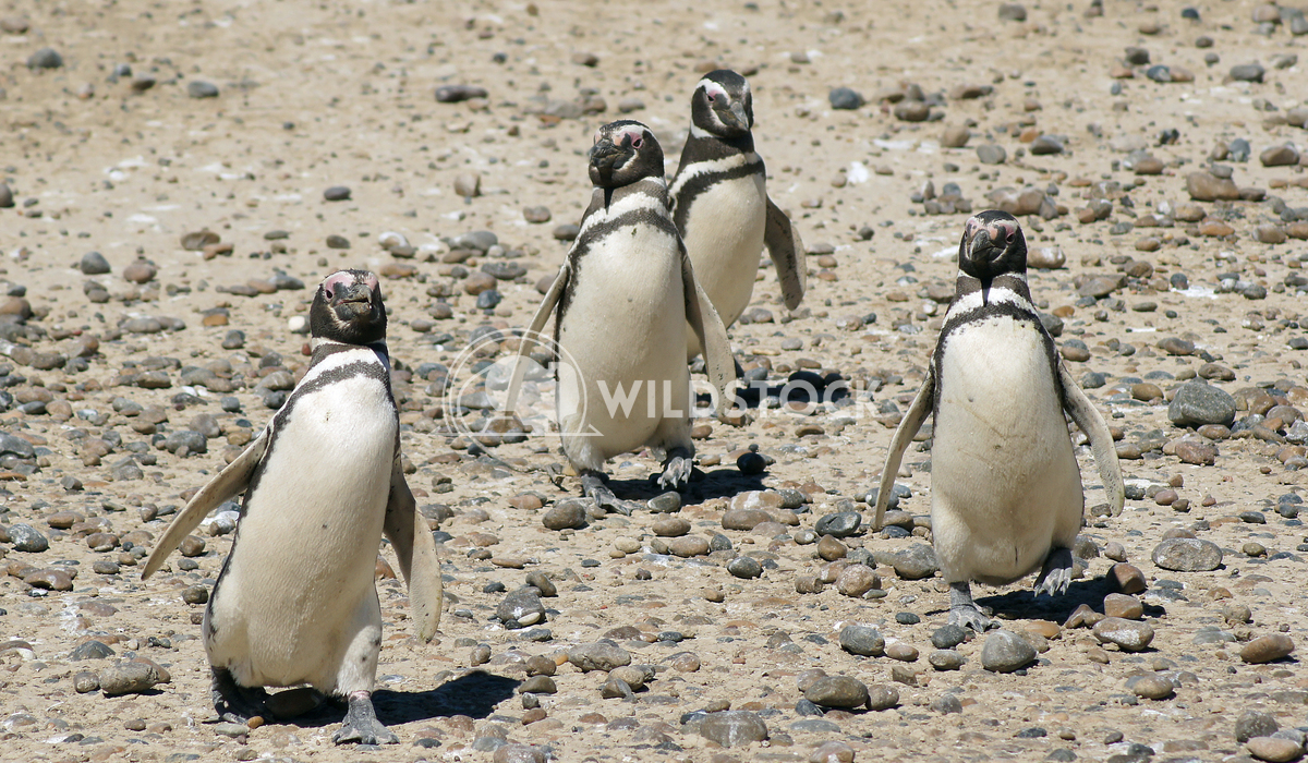 Magellanic Penguin, Argentina 17 Alexander Ludwig Colony of Magellanic Penguins, Punta Tombo, Argentina, South America