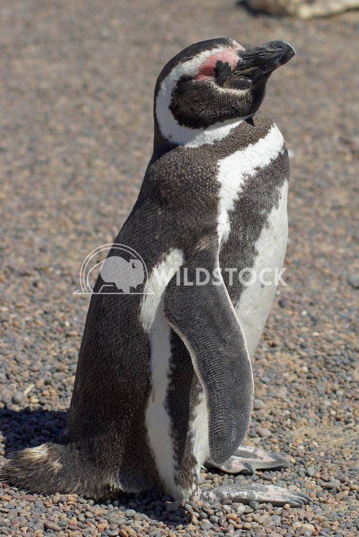 Magellanic Penguin, Argentina 20 Alexander Ludwig Colony of Magellanic Penguins, Punta Tombo, Argentina, South America