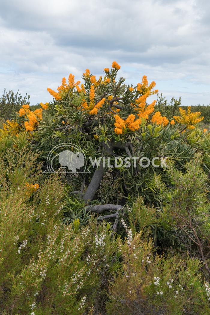 Nuytsia floribunda, Fitzgerald River National Park, Western Australia 1 Alexander Ludwig Nuytsia floribunda, beautiful f