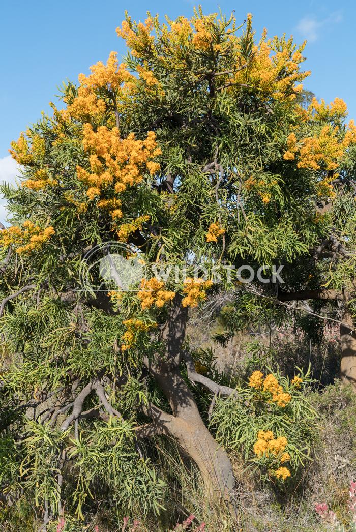 Nuytsia floribunda, Fitzgerald River National Park, Western Australia 2 Alexander Ludwig Nuytsia floribunda, beautiful f