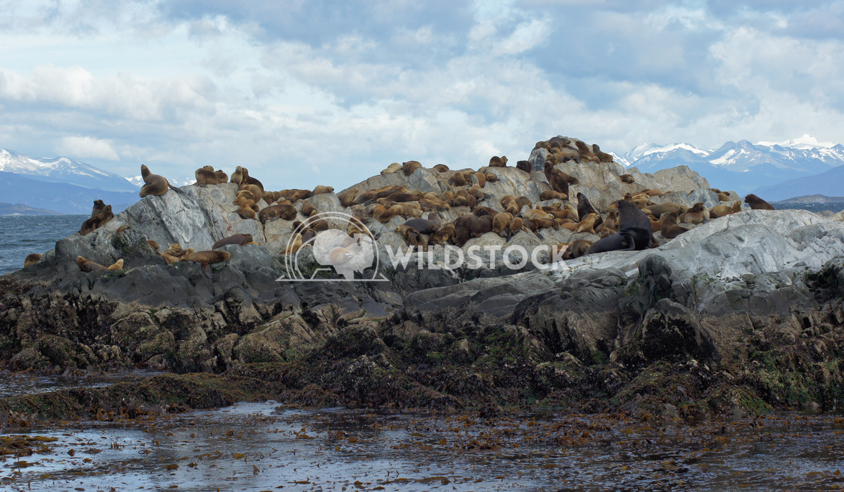 Seals, Beagle Channel, Argentina 1 Alexander Ludwig Colony of Patagonian Sea Lions, Beagle Channel, Patagonia, Argentina