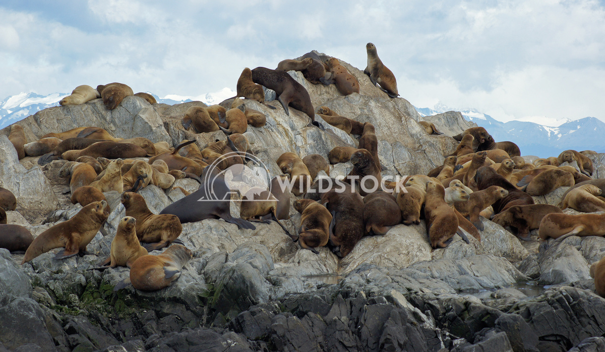 Seals, Beagle Channel, Argentina 2 Alexander Ludwig Colony of Patagonian Sea Lions, Beagle Channel, Patagonia, Argentina