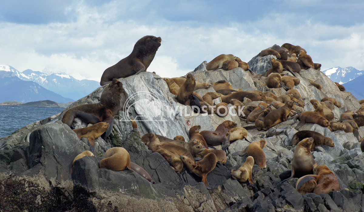 Seals, Beagle Channel, Argentina 4 Alexander Ludwig Colony of Patagonian Sea Lions, Beagle Channel, Patagonia, Argentina
