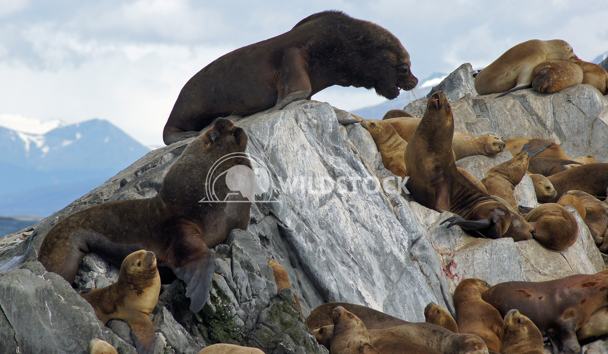 Seals, Beagle Channel, Argentina 6 Alexander Ludwig Colony of Patagonian Sea Lions, Beagle Channel, Patagonia, Argentina
