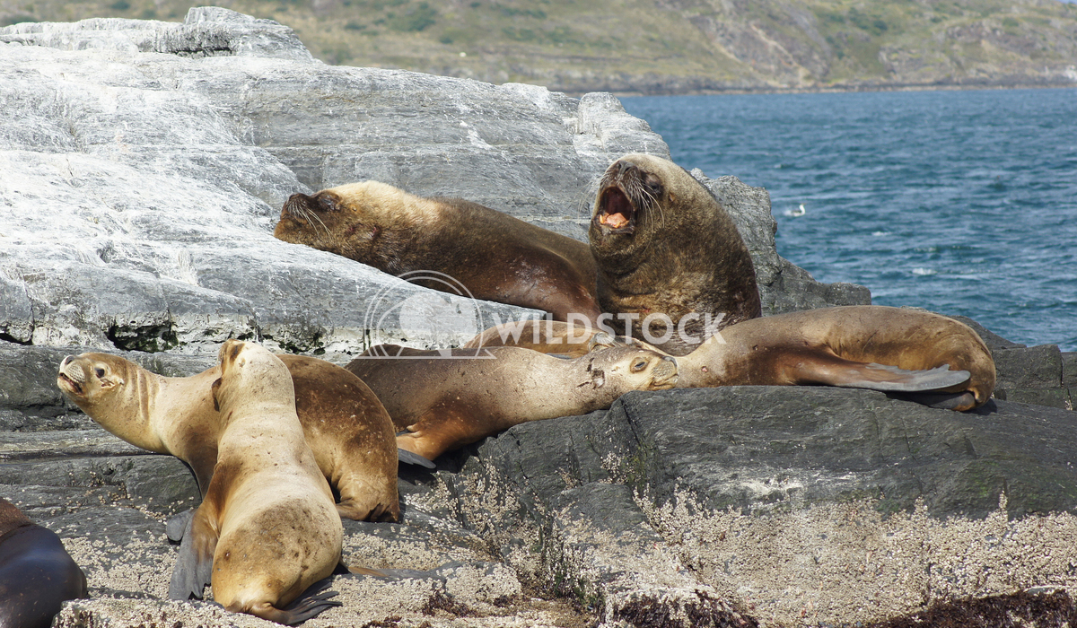 Seals, Beagle Channel, Argentina 7 Alexander Ludwig Colony of Patagonian Sea Lions, Beagle Channel, Patagonia, Argentina
