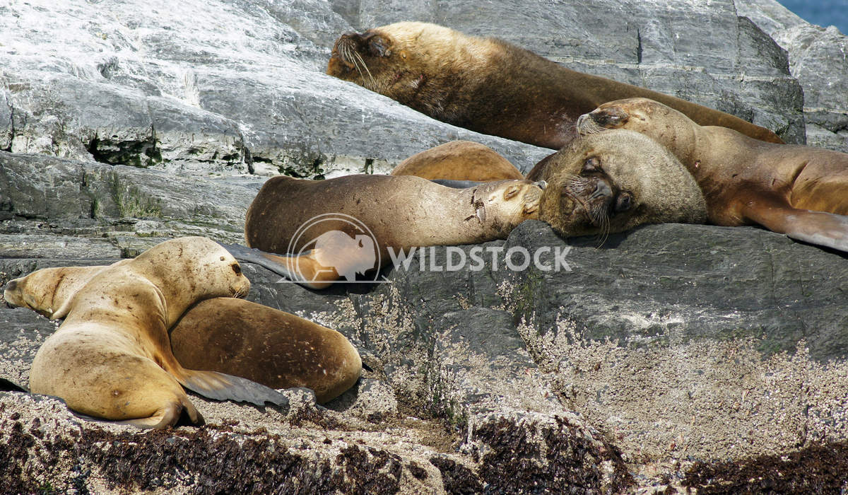 Seals, Beagle Channel, Argentina 8 Alexander Ludwig Colony of Patagonian Sea Lions, Beagle Channel, Patagonia, Argentina