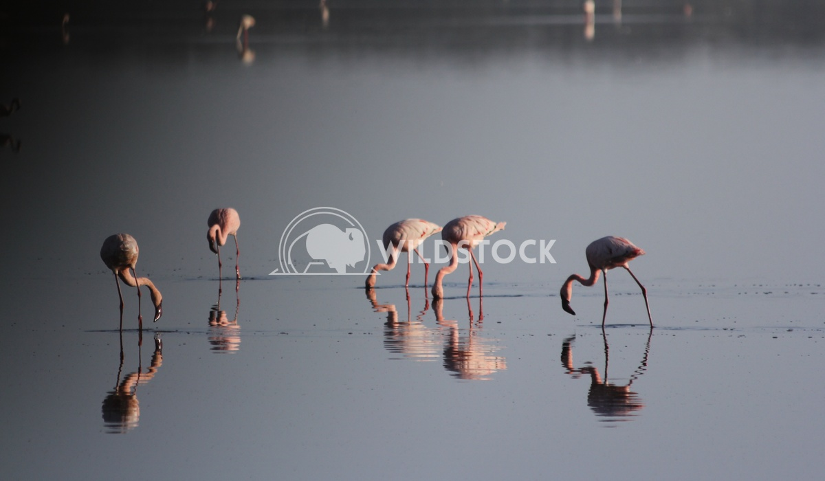 Lesser Flamingo Folly Frank  Castro