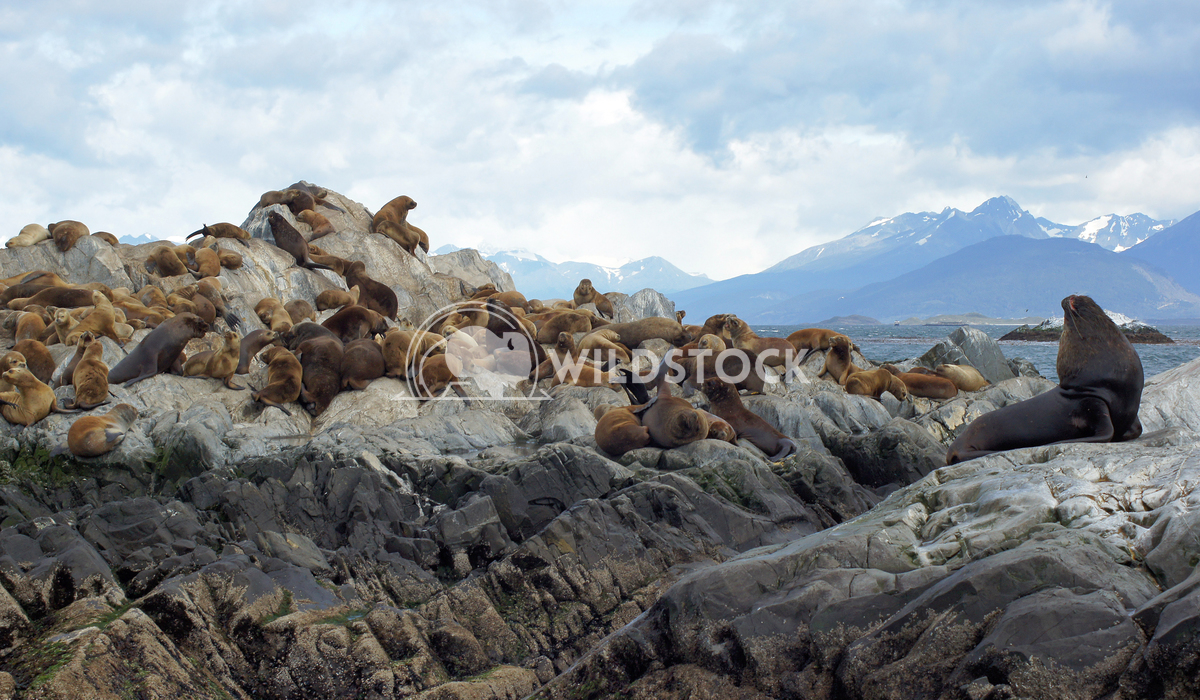 Seals, Beagle Channel, Argentina 9 Alexander Ludwig Colony of Patagonian Sea Lions, Beagle Channel, Patagonia, Argentina