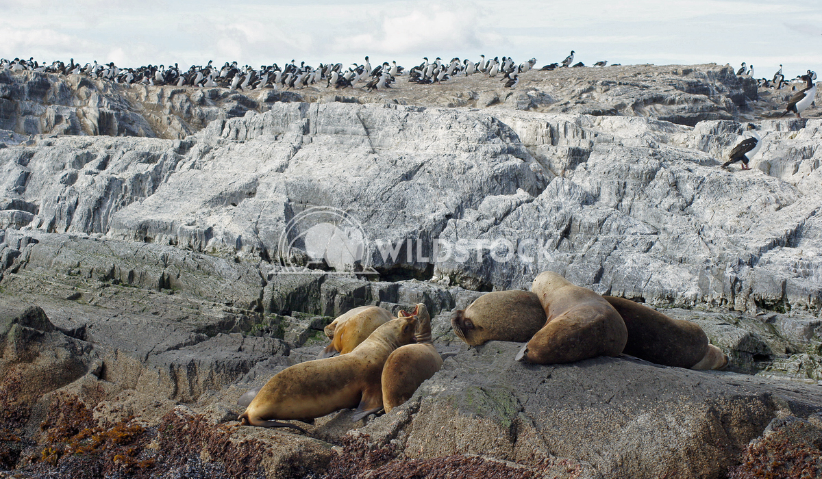 Seals, Beagle Channel, Argentina 10 Alexander Ludwig Colony of Patagonian Sea Lions, Beagle Channel, Patagonia, Argentin