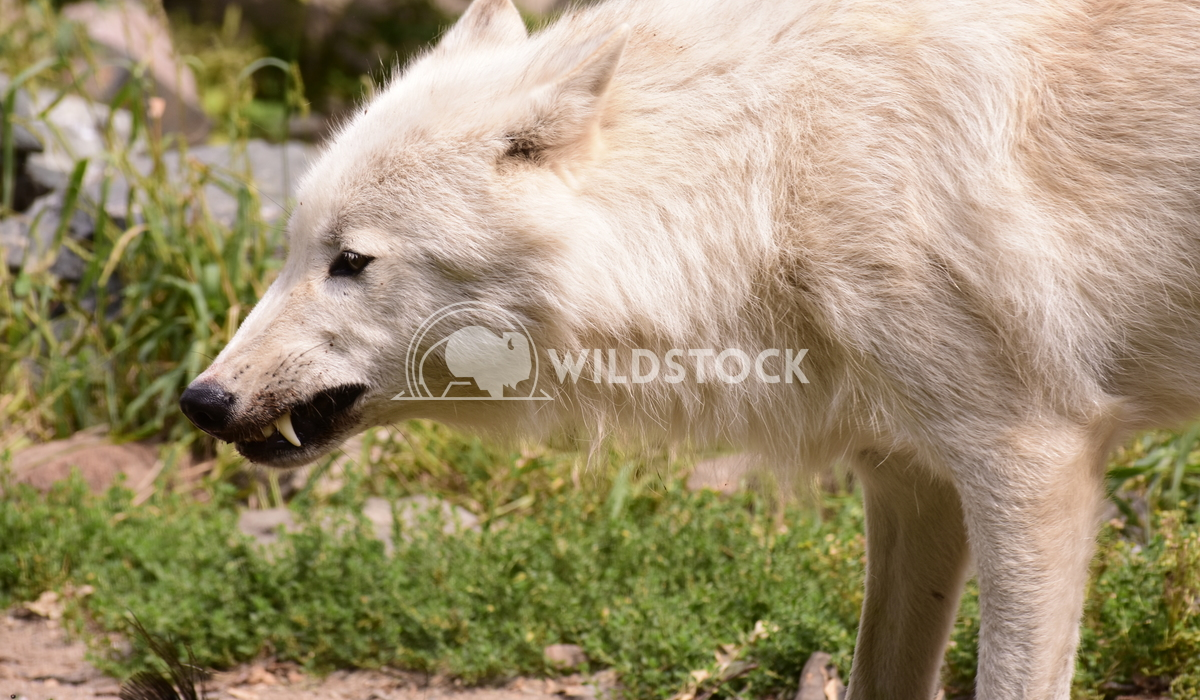 White wolf snarling Gordon Lindgren